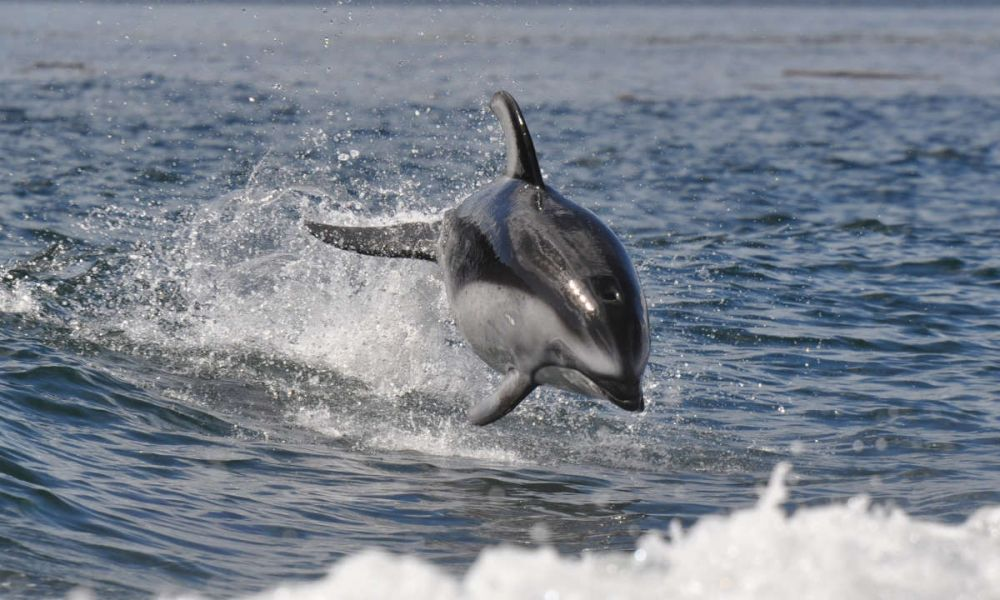 Un dauphin dans les eaux Campbell River