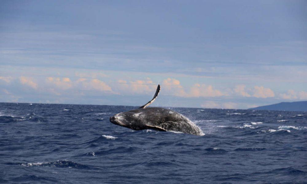 Une baleine sautant dans l'eau