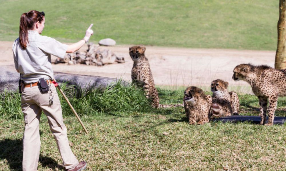 Guépards du zoo de San Diego