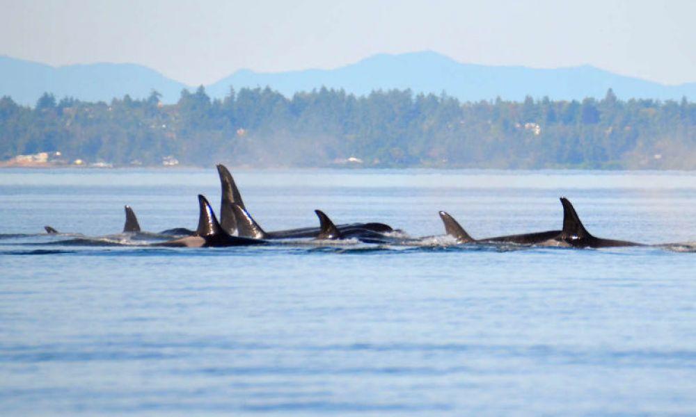Des orques dans les eaux de Victoria