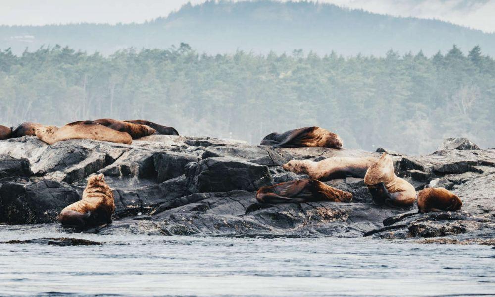 Lions de mer à Victoria
