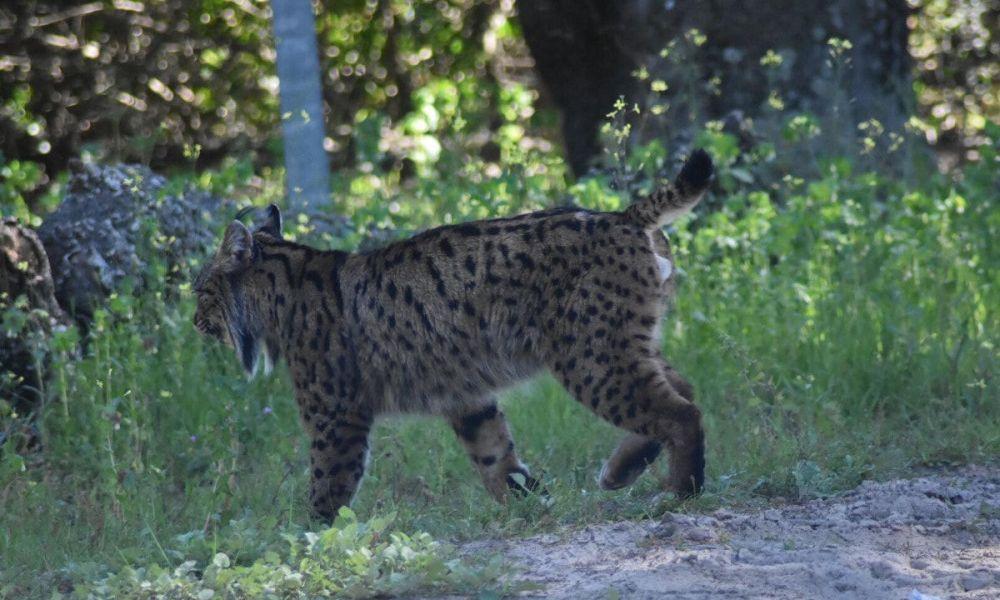 Lynx ibériques