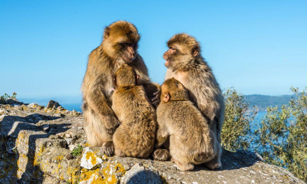 Les fameux singes en liberté
