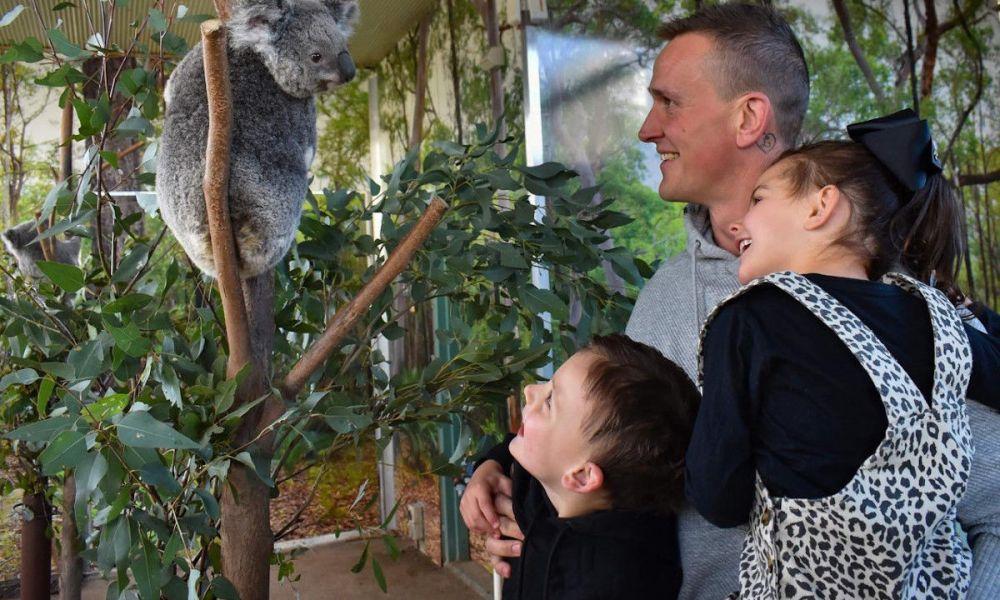 Petite visite aux koalas