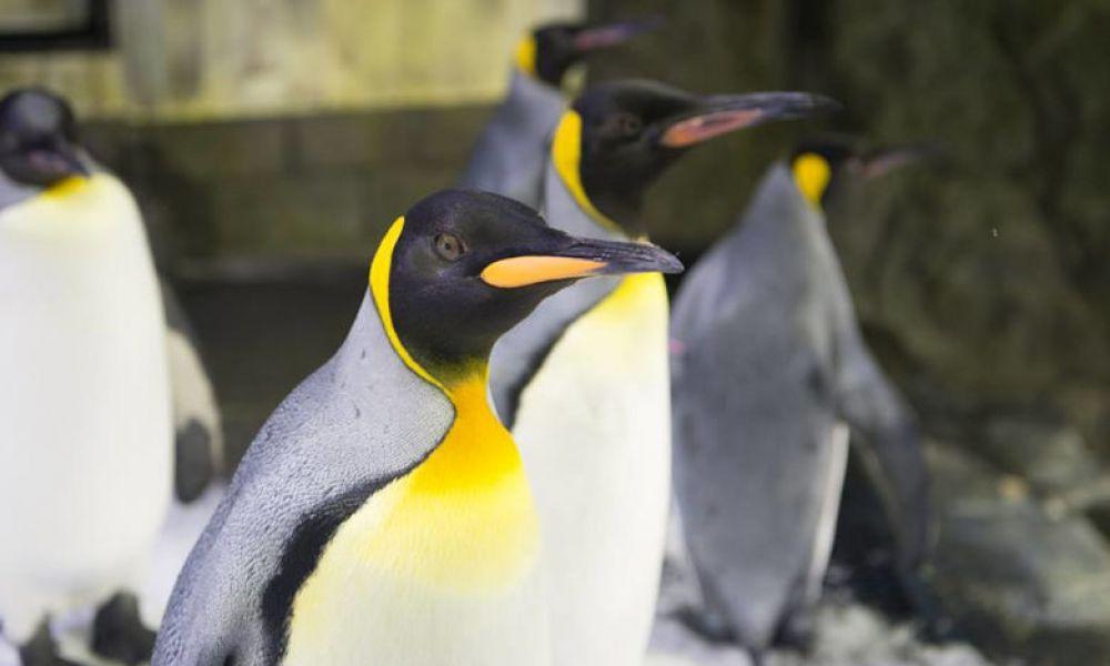 Pingouins de l'aquarium