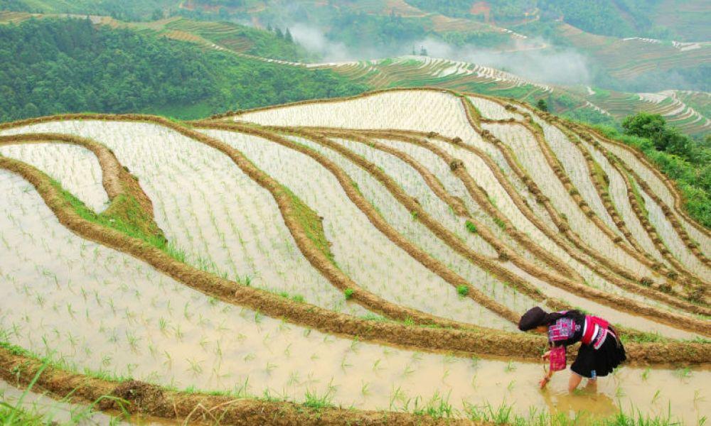 Femme travaillant dans les rizières