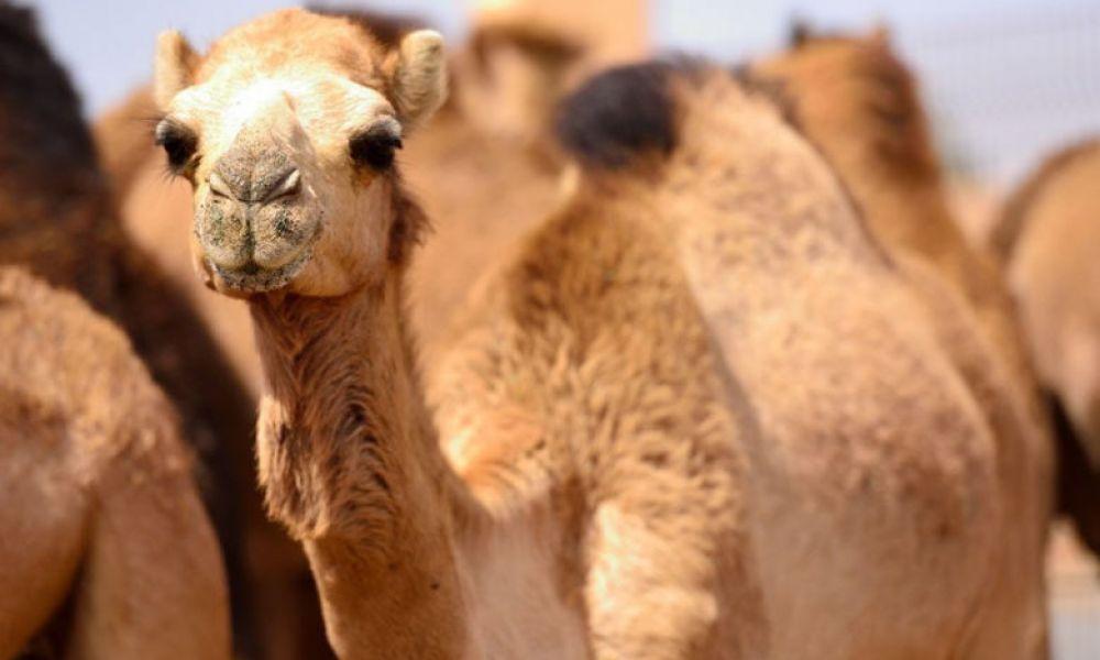 Marché aux chameaux d'Al Aïn