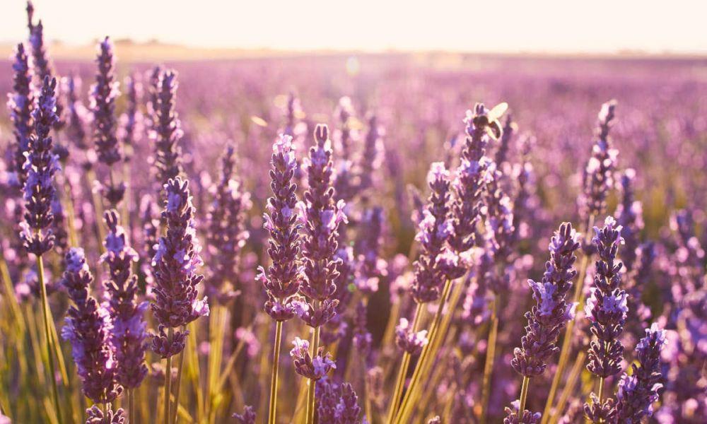 La fleur de Provence