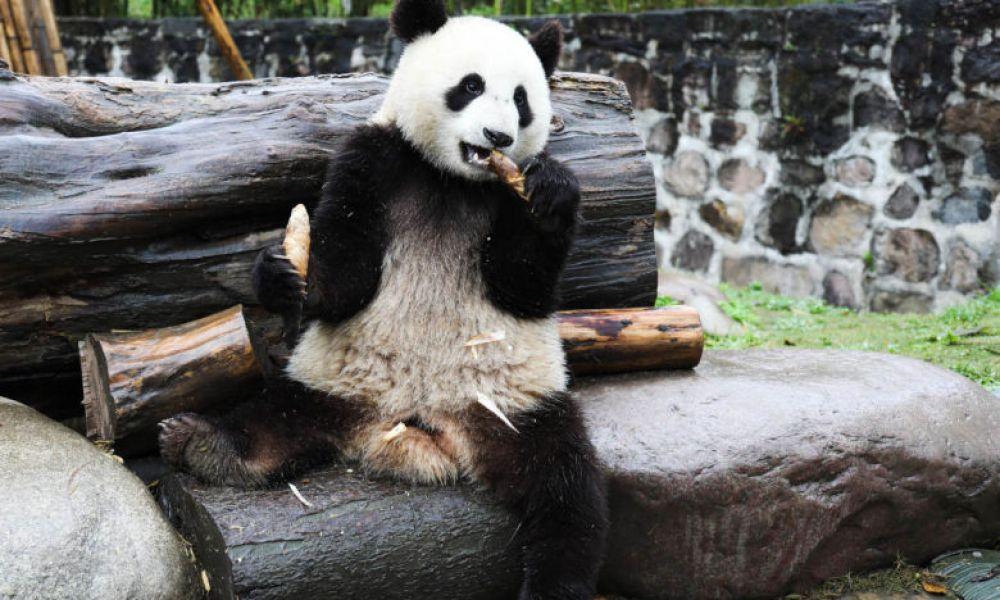 Panda de la réserve de Dujiangyan