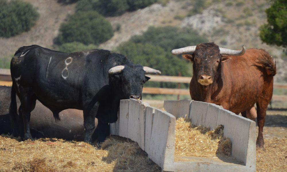 Ferme d'élevage de taureaux de combat
