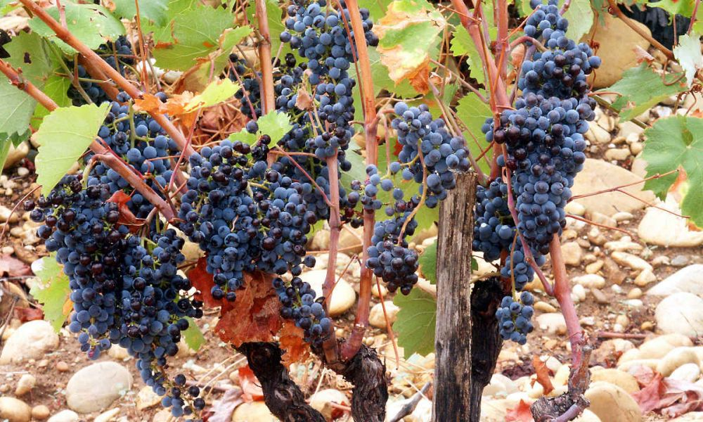 Raisins de Provence