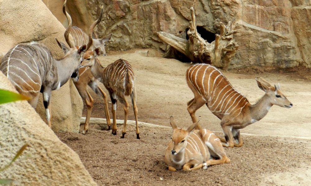Antilopes Impala