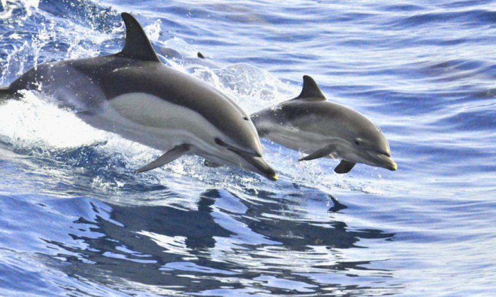 Dauphins près de Tenerife