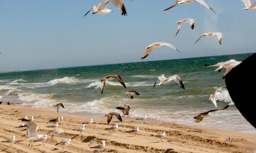 Mouettes à Doñana