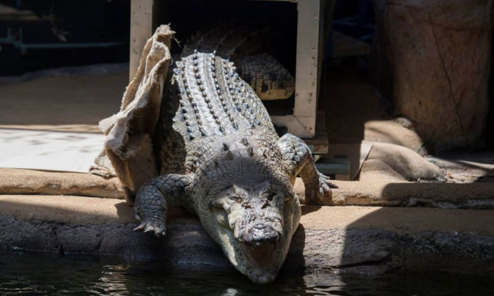Crocodile du zoo de Sydney