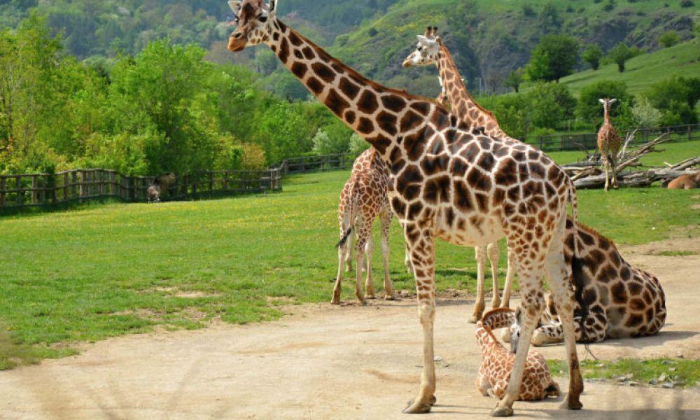 Des girafes dans le zoo de Prague