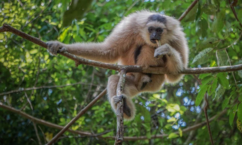 Singe endémique du Cambodge