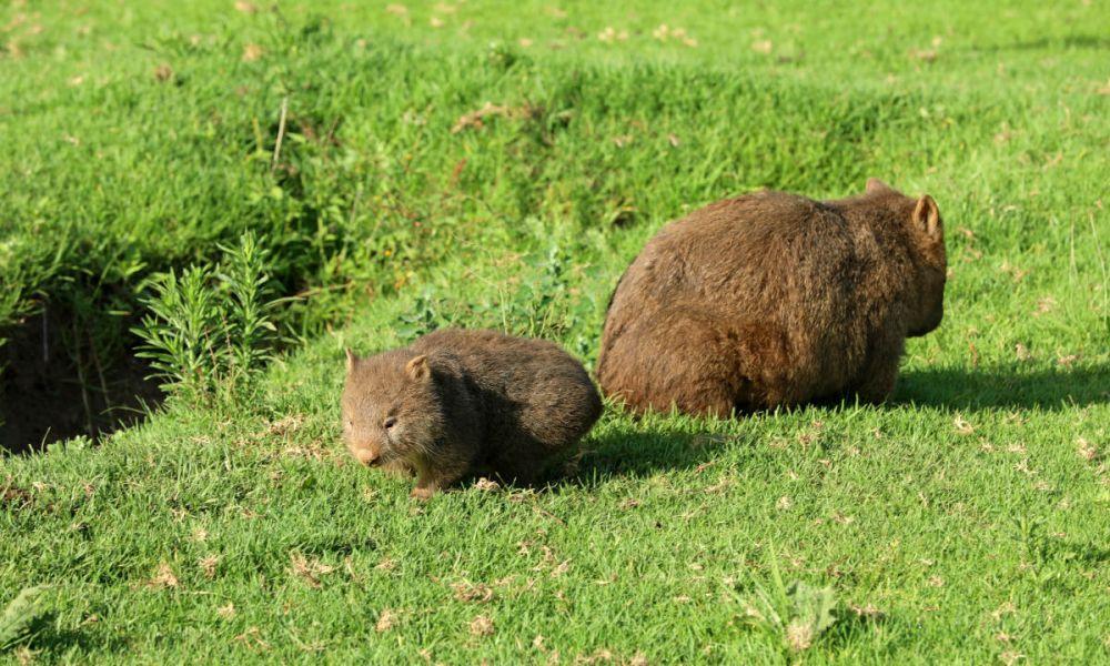 Famille de wombats