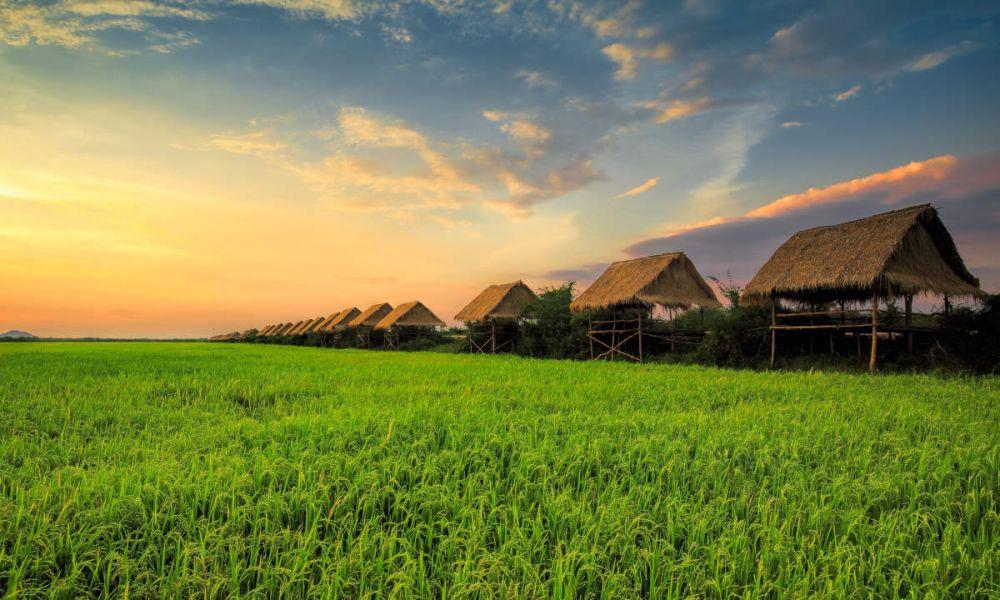 Rizière à Siem Reap