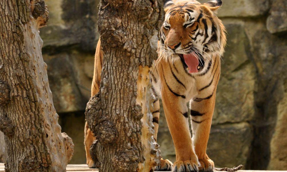 Un tigre du zoo de Prague
