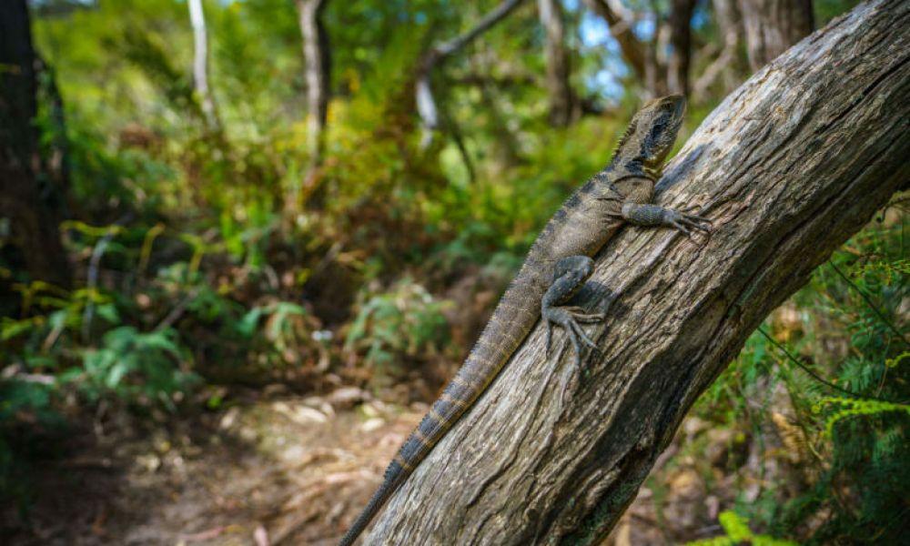 Dragon d'eau australien