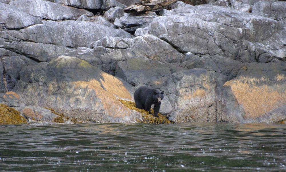 Un ours à Campbell River