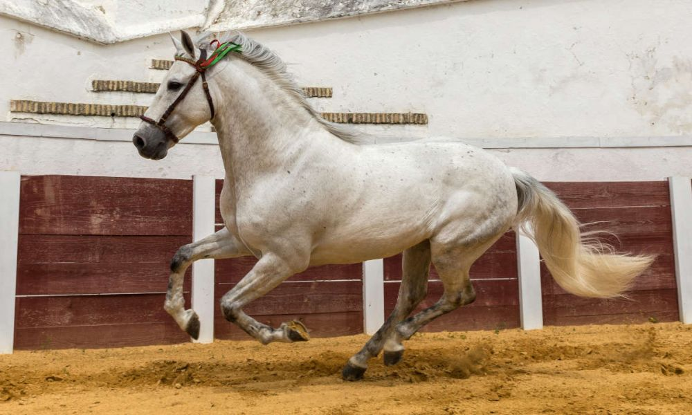 Spectacle de chevaux andalous