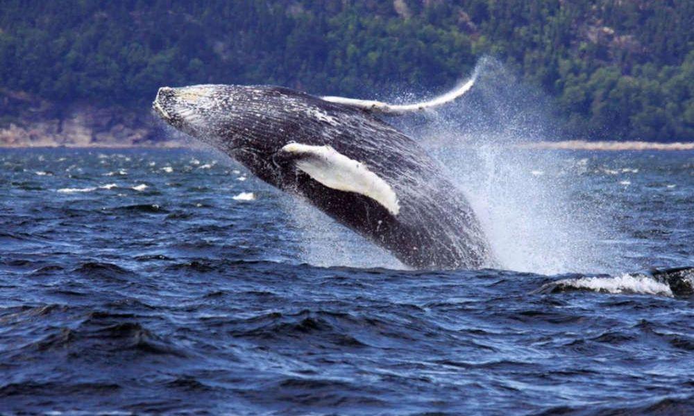 L'une des baleines