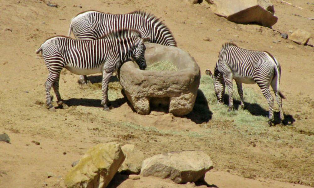 Zèbres du Zoo de San Diego