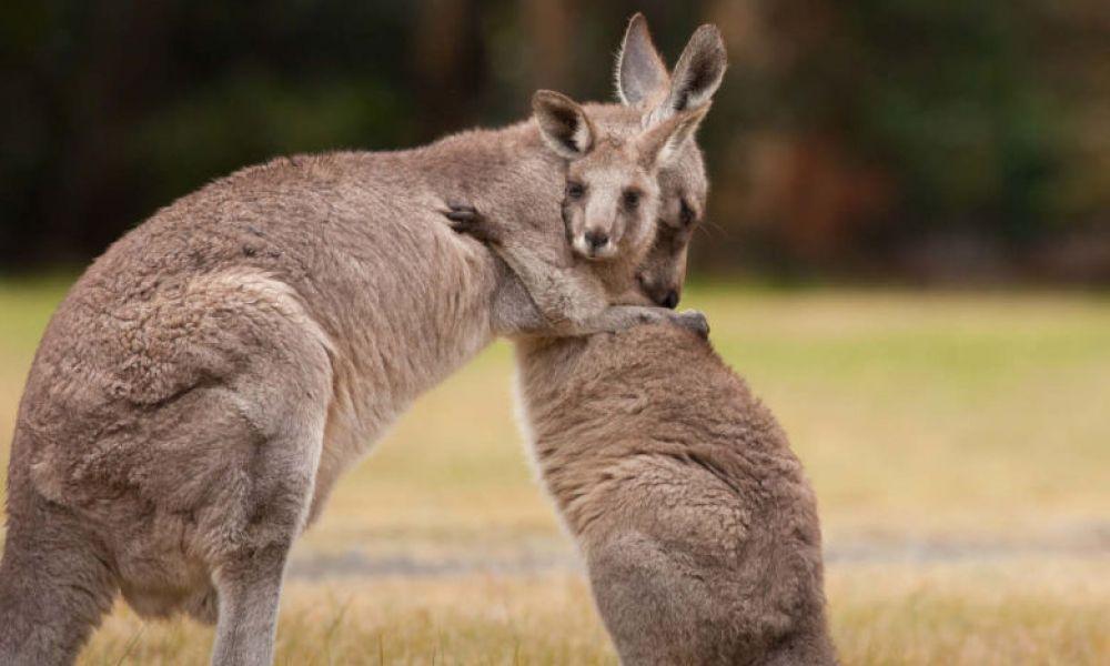 Kangourous à Kangaroo Valley